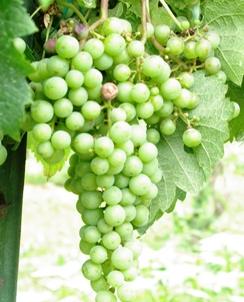 grapessm